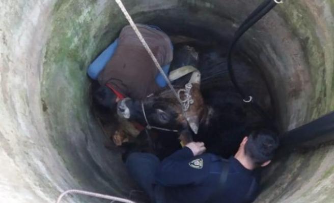 Çine'de Kuyuya Düşen Büyükbaş Hayvan Kurtarıldı