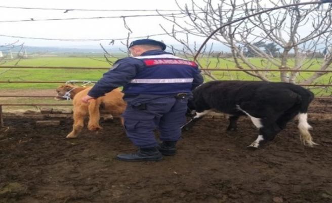 Kaybolan hayvanları, Jandarma 35 kilometre uzaklıkta buldu