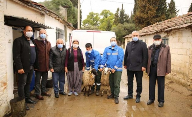 Türkiye'nin milli değeri Çine çaparı koyunları artık emin ellerde