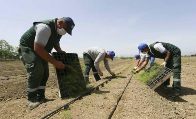 Aydın Büyükşehir Belediyesi Aydınlı Çiftçilere Dağıtılacak Kuşkonmazların Dikimini Yaptı