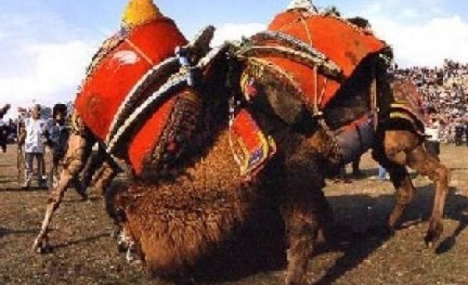 Deve güreşi Festivali'nde bedava deve eti