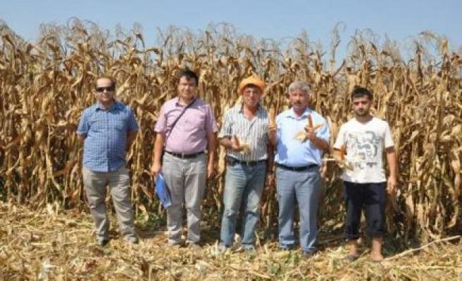 Mısır hasat kontrolleri devam ediyor