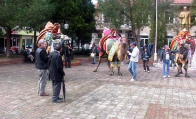 Pehlivan develer görücüye çıktı