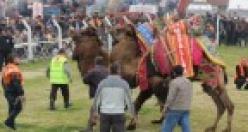 Çine 24. Deve Güreşi Festivali