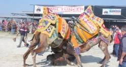 Çine'de, 30. Deve Güreşi Festivaline Büyük İlgi