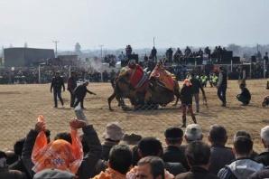 26. Geleneksel Çine Deve Güreşleri Yapıldı