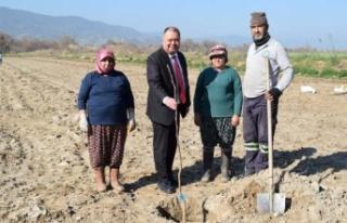 Çine Belediyesi 500 adet ceviz fidanını toprakla...