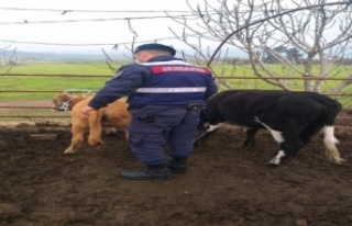 Kaybolan hayvanları, Jandarma 35 kilometre uzaklıkta...