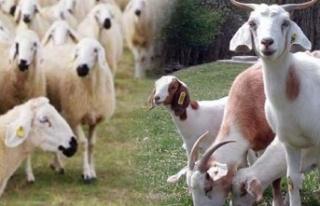 Koyun-keçi destek ödemeleri başladı