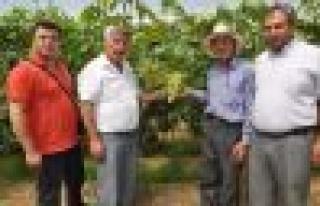 Çine'de örtü altında üzüm hasadı başladı