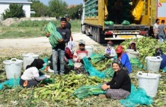 Çine Ovası'ndan Bir Çok Şehre Süt Mısırı