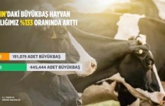 Aydın'da büyükbaş hayvan sayısı artış gösterdi
